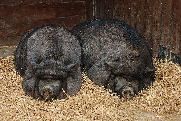 свиноматка и самец