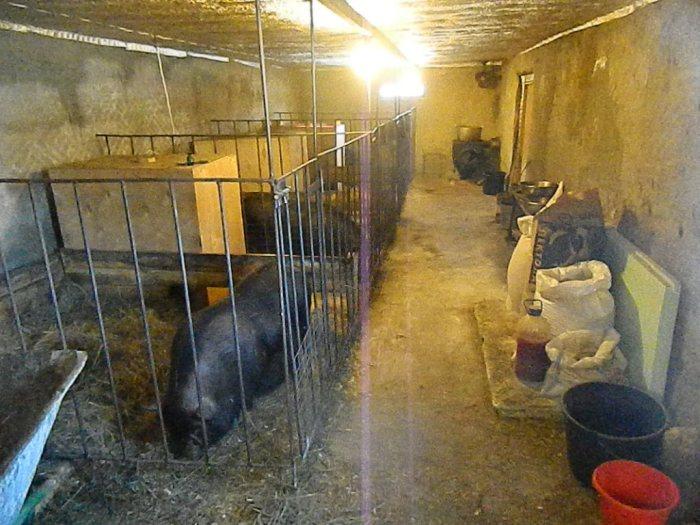 помещение для вьетнамских свиней