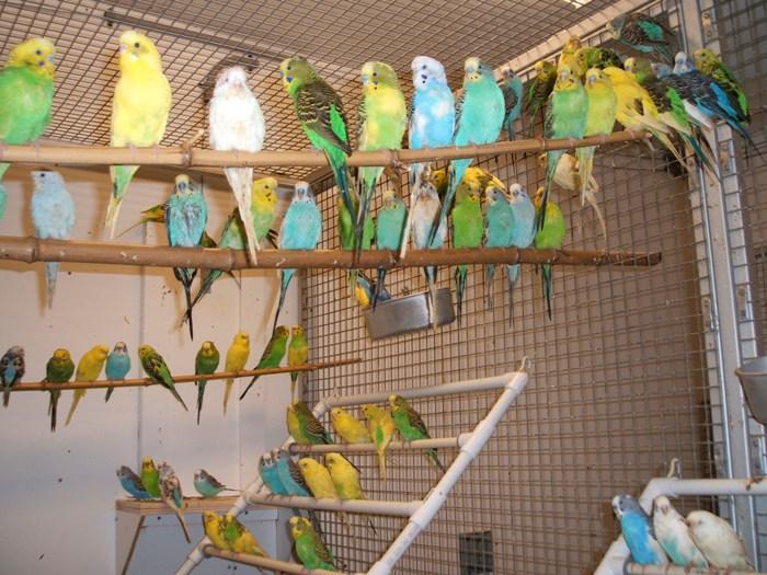 волнистые попугаи размножение в домашних условиях
