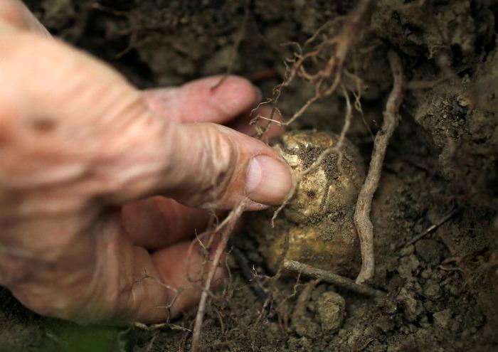 Выращивания трюфеля