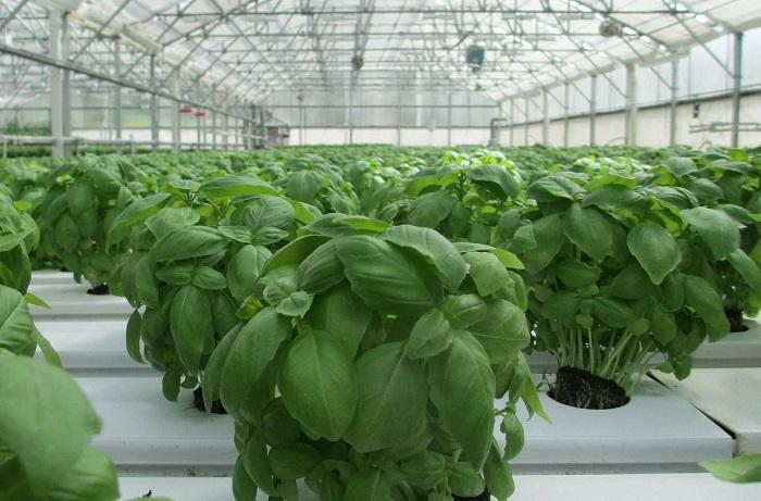 Выращивание зелени круглый год