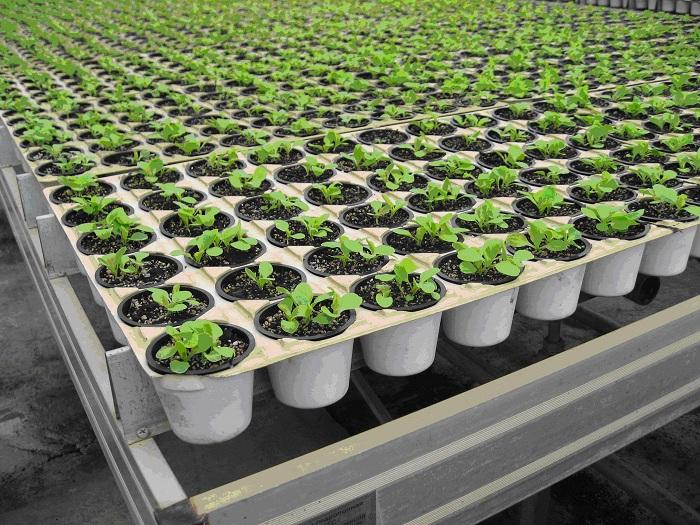 Выращивание зелени в теплице круглый год