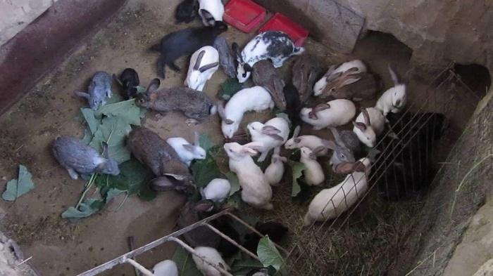 Как содержат кроликов в ямах?