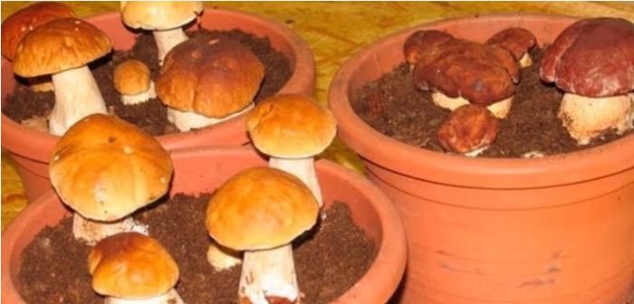 Выращивание белых грибов на подоконнике