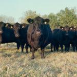 Выращивание крупного рогатого скота - Новости и статьи о сельском хозяйстве