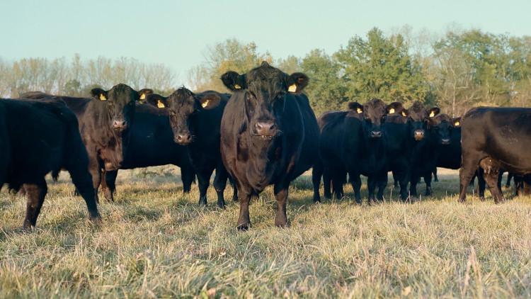 Чёрный бык Ангус