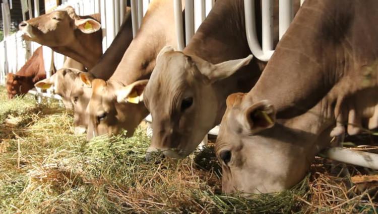 Откорм быков в стойле