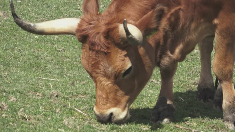 Свободный выпас быков