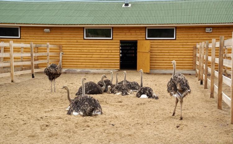 Страусиная ферма загон для страусов