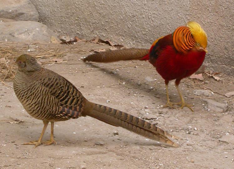 Фазаны самец и самка