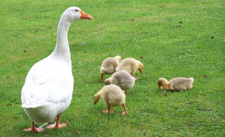 Мясо и яйца гусей