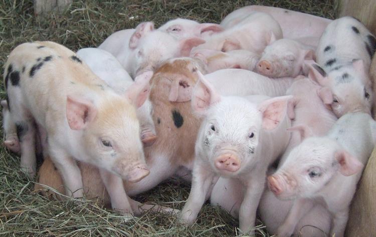 Место для выгула свиней