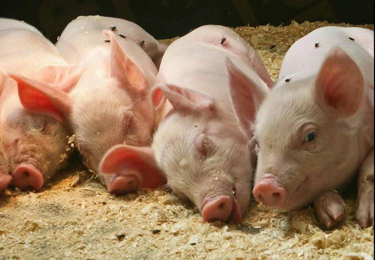 Перед началом разведения свиней необходимо произвести все возможные финансовые расчеты