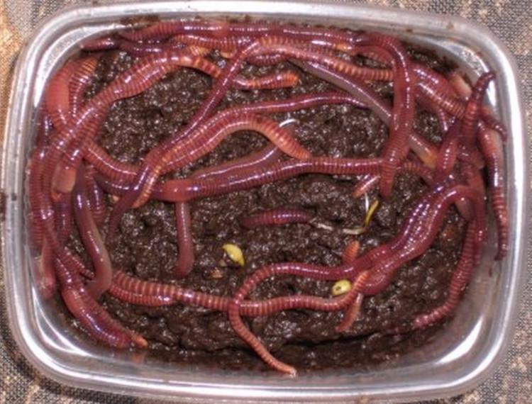 Чем кормить дождевого червя в домашних условиях