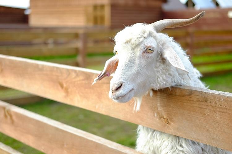 Ферма коз