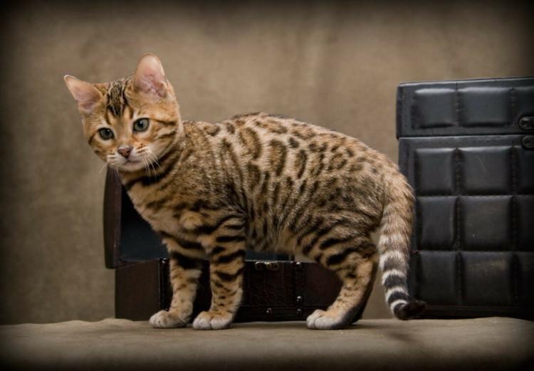 Условия содержания бенгальских кошек