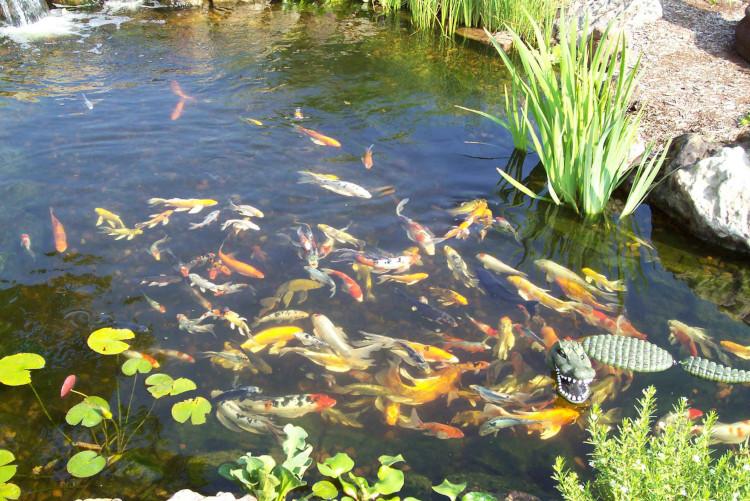 Разведение рыб в пруду